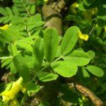 Erbsenstrauch gelbe Bluete Caragana arborescens 03