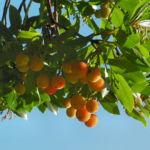 Erdbeerbaum Frucht rot Arbutus unedo 07