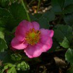 Erdbeere rote Zierbluete Fragaria 02