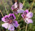 Erodium Bluete hell pink Erodium petraeum 01