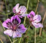 Erodium Bluete hell pink Erodium petraeum 02