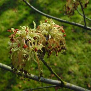 Eschenblaettriger Ahorn Bluete rot gruen Acer negundo0 0