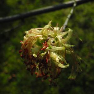 Eschenblaettriger Ahorn Bluete rot gruen Acer negundo01