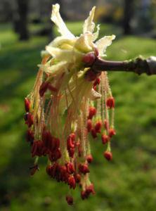 Eschenblaettriger Ahorn Bluete rot gruen Acer negundo03