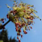 Eschenblaettriger Ahorn Bluete rot gruen Acer negundo0 4