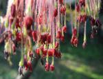 Bild:  Eschenahorn Blüte rot Acer negundo