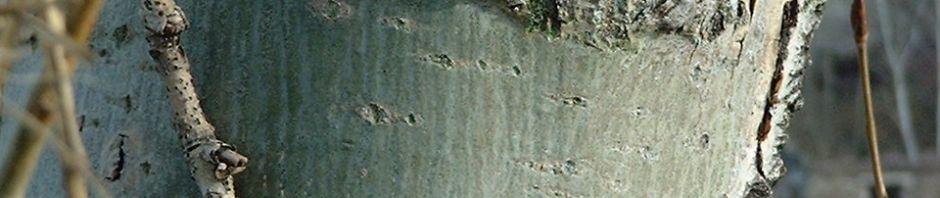 espe-rinde-grau-populus-tremula