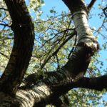 Espe Zitterpappel Populus tremula 02