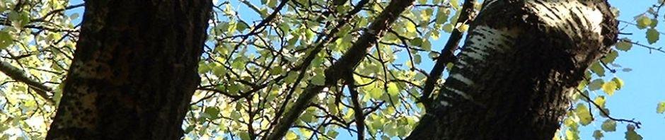 espe-zitterpappel-rinde-grau-blatt-gruen-populus-tremula
