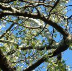 Espe Zitterpappel Populus tremula 03
