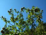 Ess Kastanie Baum Castanea sativa 02