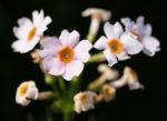 Etagen Primel Bluete weiss Primula japonica 02