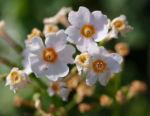Etagen Primel Bluete weiss Primula japonica 03