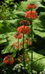 Etagenprimel Bluete orange rot Primula beesiana 01