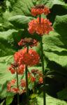 Etagenprimel Bluete orange rot Primula beesiana 02
