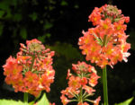 Etagenprimel Bluete orange rot Primula beesiana 04