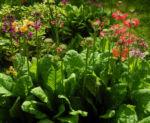 Etagenprimel Bluete orange rot Primula beesiana 05