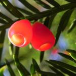 Europaeische Eibe Frucht rot Taxus baccata 03