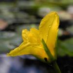 Europaeische Seekanne Bluete gelb Nymphoides peltata 09
