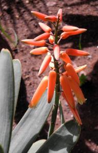 Faecheraloe Bluete orangerot Aloe plicatilis 04