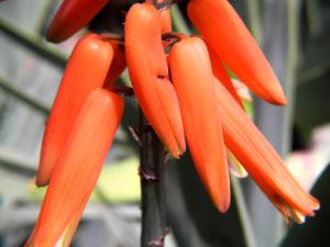 Faecheraloe Bluete orangerot Aloe plicatilis 11