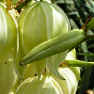 Faedrige Palmlilie Bluete weiss Yucca filamentosa 03
