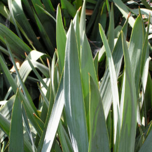 Faedrige Palmlilie Bluete weiss Yucca filamentosa 04