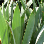 Faedrige Palmlilie Bluete weiss Yucca filamentosa 05