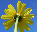 Faerber Hundskamille Bluete gelb Anthemis tinctoria 05