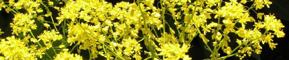 faerberwaid-deutscher-indigo-bluete-gelb-isatis-tinctoria