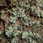 Falsche Pflaumenflechte gruenlich Evernia prunastri 02