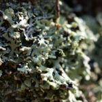 Falsche Pflaumenflechte gruenlich Evernia prunastri 04