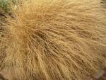 Bild:  Federborstengras braun Winter Pennisetum alopecuroides