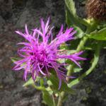 Federige Flockenblume Bluete lila Centaurea nervosa 25
