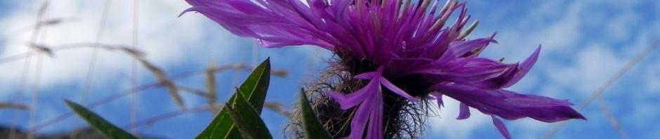 federige-flockenblume-bluete-lila-centaurea-nervosa