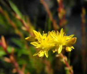 Felsen Fetthenne Bluete gelb Sedum rupestre 08