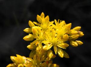 Felsen Fetthenne Bluete gelb Sedum rupestre 10