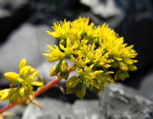 Felsen Fetthenne Bluete gelb Sedum rupestre 13