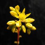 Felsen Fetthenne Bluete gelb Sedum rupestre 14