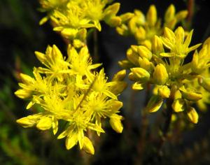 Felsen Fetthenne Bluete gelb Sedum rupestre 26