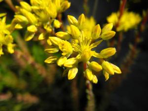 Felsen Fetthenne Bluete gelb Sedum rupestre 27