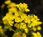 Felsen Steinkraut Bluete gelb Aurinia saxatilis 01