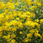 Felsen Steinkraut Bluete gelb Aurinia saxatilis 05
