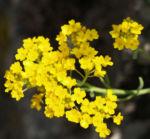 Felsen Steinkraut Bluete gelb Aurinia saxatilis 06