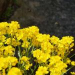 Felsen Steinkraut Bluete gelb Aurinia saxatilis 08