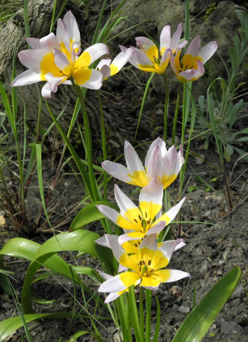 Felsen Tulpe Bluete weiß gelb Tulipa saxatilis