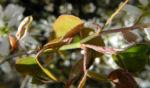 Felsenbirne Blatt Amelanchier lamarckii 02
