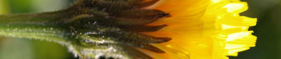 gewoehnliches-ferkelkraut-bluete-gelb-hypochaeris-radicata
