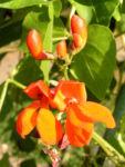 Feuerbohne Prunkbohne Blatt gruen Bluete orange Phaseolus coccineus 02