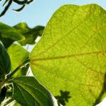Feuerbohne Prunkbohne Blatt gruen Bluete orange Phaseolus coccineus 05